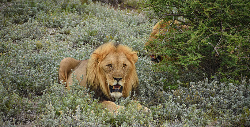 Lion at Namibia