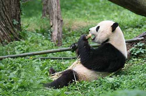 Get to know Pandas and watch them play, snack and tumble together in central China's national parks. Pandas can be found in China, one of Cover-More's top destinations for animal-lovers.