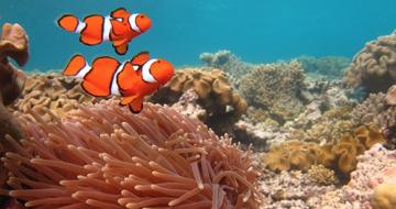 Clown fish in reef